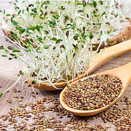 Alfalfa Seeds | MicroGreens | Vegetable Sprouts | 100/150/250gms