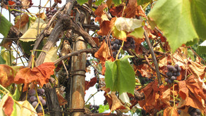 Withering on the Vine