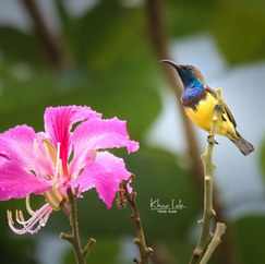 Birding Khaolak