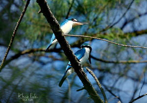 collared kingfishers