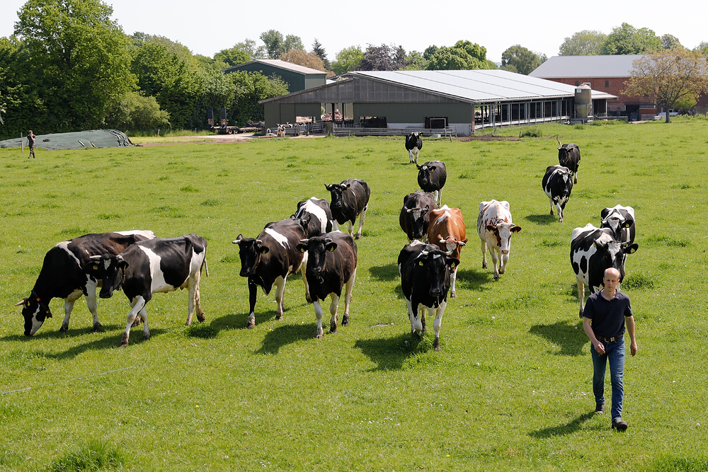Kuhweide Kühe und Jan Iding