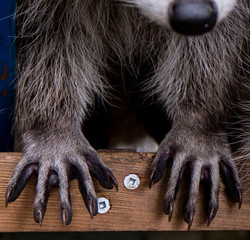 Touchy, Feely, Amazing Raccoon Hands