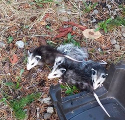 A Happy Ending for Orphaned Opossums
