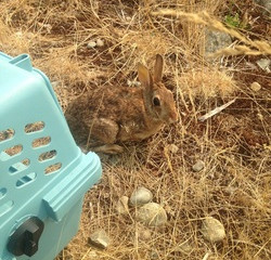 Adult Cottontail Gets a Second Chance at Life