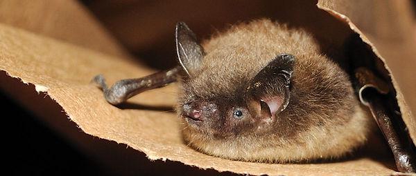 brown bat.jpg