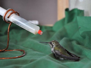 How to Heal the Hummingbirds in Winter