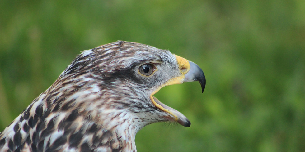 Meet North America's Largest Hawk!