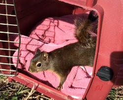 Volunteer Voices: A Douglas' Squirrel Gets to Go Home