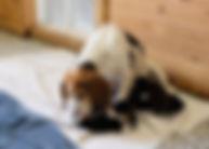 2020-03-21 Beagles Camo Litter 2.JPG