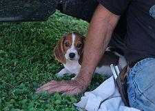 2019-09-30 Beagle Lucy 2.JPG