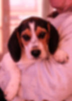 2018-12-05 Beagles Fred WillowRachel Ber