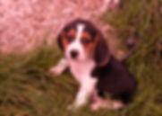 Beagle M348_5.JPG