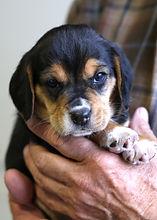 2021-03-10 Beagles Skye Buddy (5).jpg