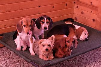2018-12-05 Beagles Annie Buster Duffy Be