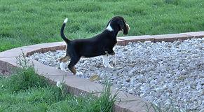 2020-05-06 Beagles F5976 Camo Buddy (8)_