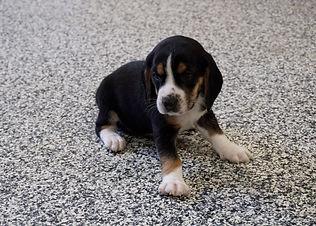 2020-11-25 Beagles M3986 2 Sadie Buddy z