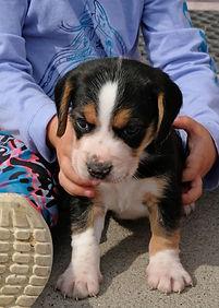 2020-09-27 Beagles M1 3 Maggie Buddy (43