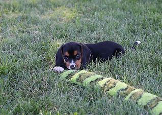 2021-06-13 Beagles Pixie Camo Buddy (6).