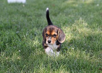 2021-06-19 Beagles 9 Willow Buddy (80).jpg