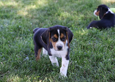 2021-06-13 Beagles M2856 Camo Buddy (11)