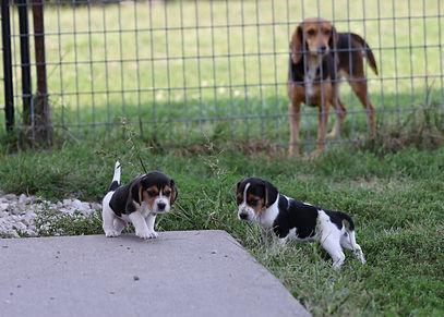 2021-09-09 Beagles  4 Penny Batman (162).jpg