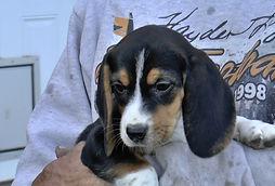 2020-05-06 Beagles F5976 Camo Buddy (12)