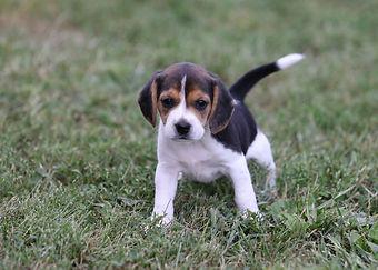 2021-09-09 Beagles 3 Penny Batman (141).jpg