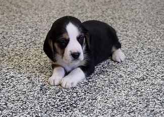 2020-11-25 Beagles M3989 2 Sadie Buddy z