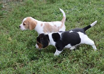 2021-09-09 Beagles M2860 2 Penny Batman (6).jpg