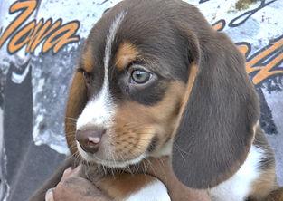 2020-05-06 Beagles M5974 Camo Buddy (7)_