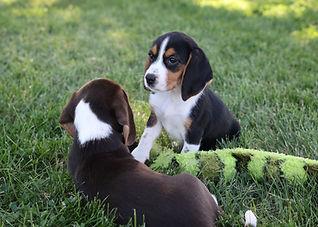 2021-06-13 Beagles F2855 Camo Buddy (24)