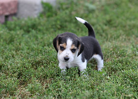 2021-09-09 Beagles M2848 6 Penny Batman (148).jpg