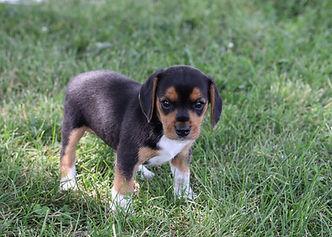 2021-06-19 Beagles F3 1 Willow Buddy (20).jpg