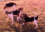 2018-12-05 Beagles F3355 GracieRachel Be
