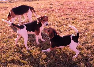 2018-12-05 Beagles F3355 GracieRachel Be