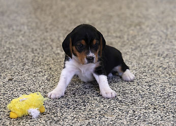 2021-03-10 Beagles M3983 Skye Buddy (11)