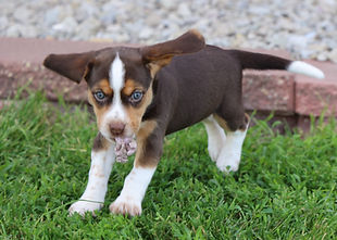 2021-06-01 Beagles M1 5 Camo Buddy (28).