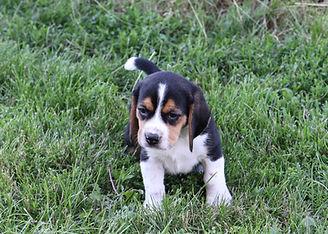 2021-06-02 Beagles M1  1 Camo Buddy (12)