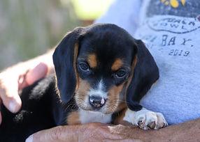 2021-06-13 Beagles Pixie Camo Buddy (11)