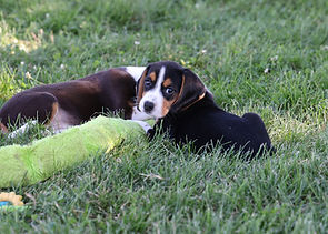 2021-06-13 Beagles F2855 Camo Buddy (1).