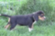 2020-05-06 Beagles F5964 Camo Buddy (2)_