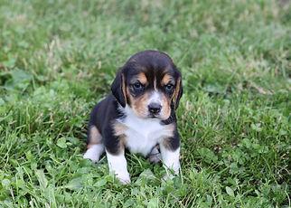 2021-06-01 Beagles F1 3 Willow Buddy (12