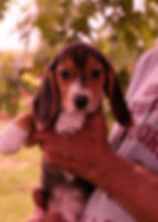 Tri-Color Beagle Puppy #4