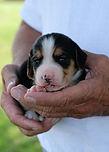 2020-09-15 Beagles M2 1 Maggie Buddy (1)