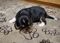 2021-02-19 Beagles F3990 Skye - Buddy (1