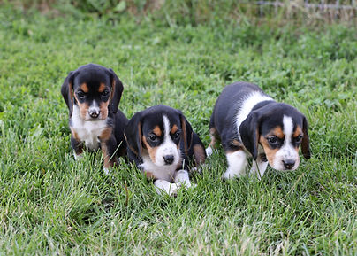2021-06-02 Beagles Females 1 Camo Buddy