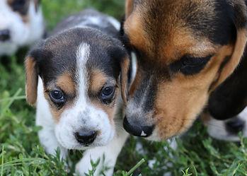 2021-09-01 Beagles.M2868 2 Pixi  Penny Batman (119).jpg