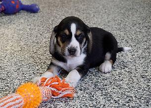 2020-11-25 Beagles M3998 3 Sadie Buddy z