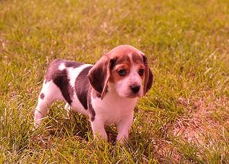 Beagles F 345_2_1 - Copy - Copy - Copy.J