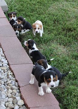 2021-09-09 Beagles 16 Penny Batman (217).jpg